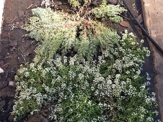 flooded-alyssum-2