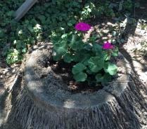 geranium-in-tree