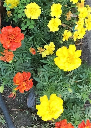 marigolds-after-rain