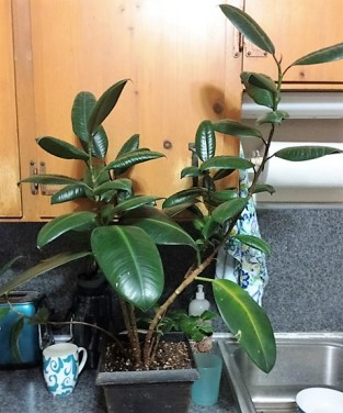 rubber-plant-by-sink