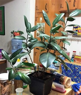 rubber-plant-in-kitchen