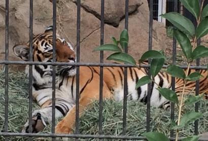 tiger-lying-down-2