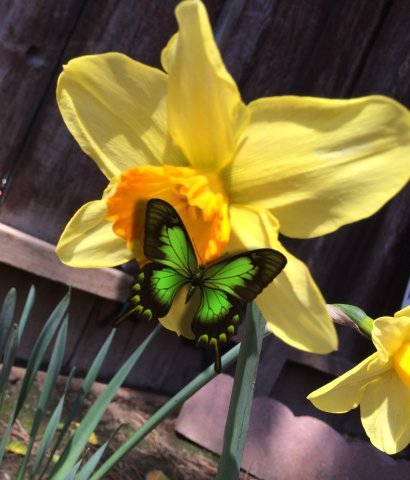 daffodil cropped