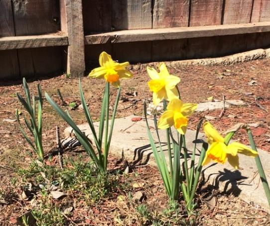 daffodils by tree