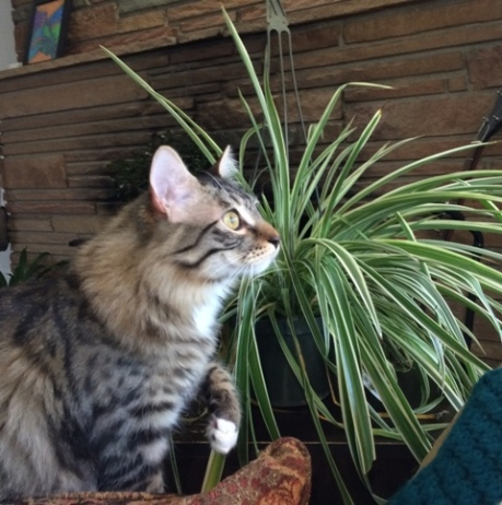 with spider plant