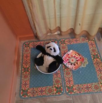 panda in water