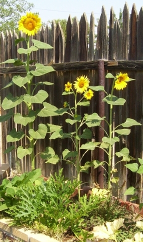 Daddy's sunflowers 2