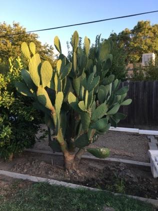 cactus parent