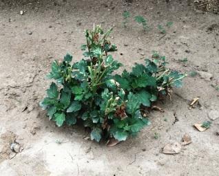 chyrsanthemum