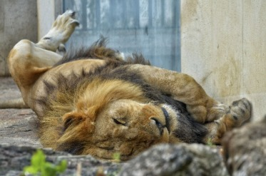 lion sleeping upside down