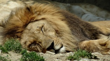 sleeping lion up close