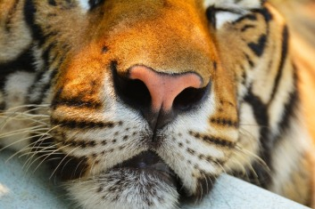 tiger nose close up