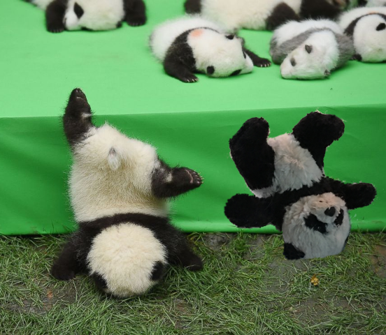 abc news panda falling off
