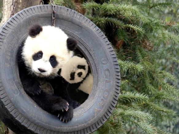 panda in tire4