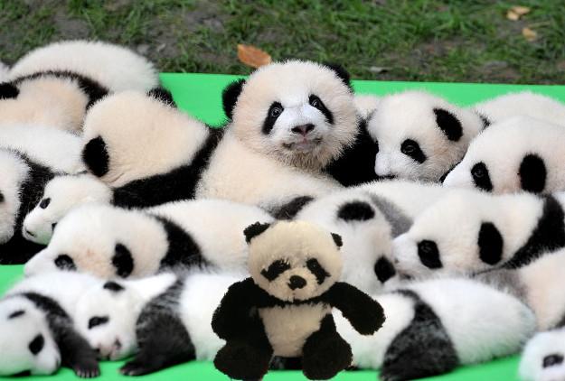 panda with babies