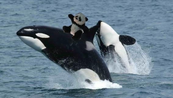 panda riding whale