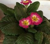 a pink primrose