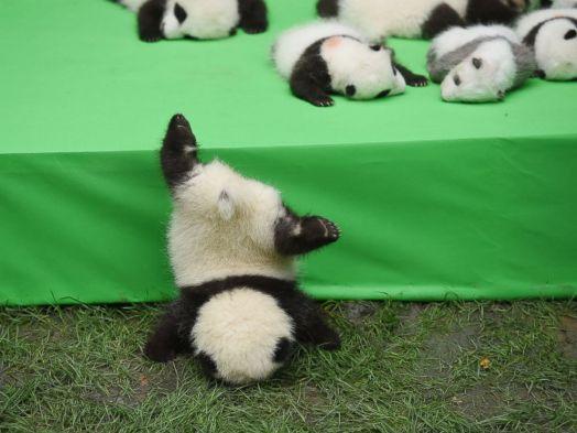 abc news panda