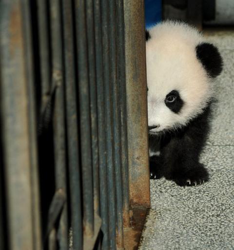 baby panda hiding
