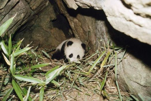 Giant Panda - 4 month old baby in den