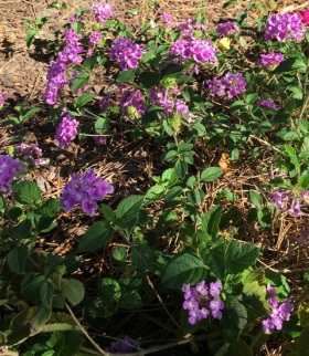 lantana purple