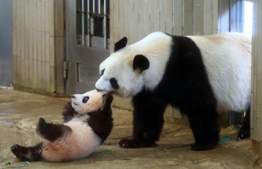panda and momvsmall