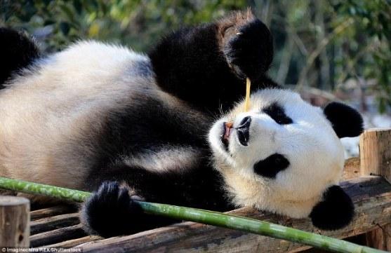 panda lying in sun small