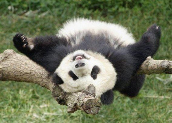 panda on back small