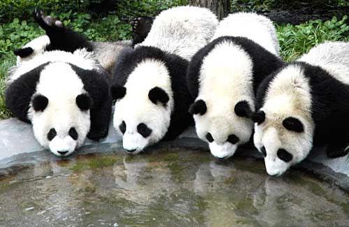 pandas drinking