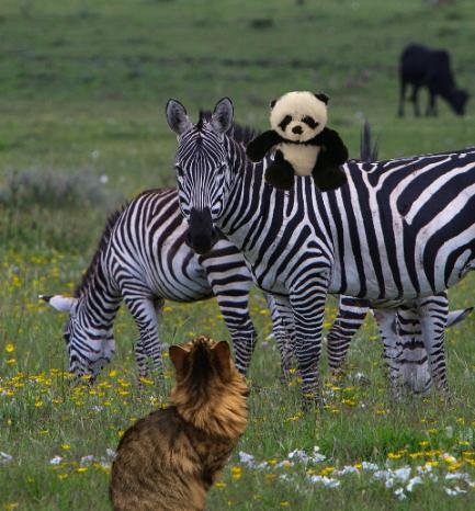 panda on zebra3